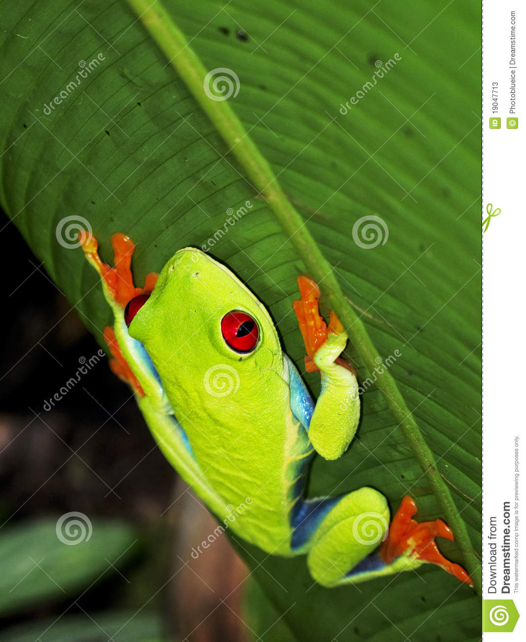 Keeping Tree Frogs as Pets  Walkabout Reptiles