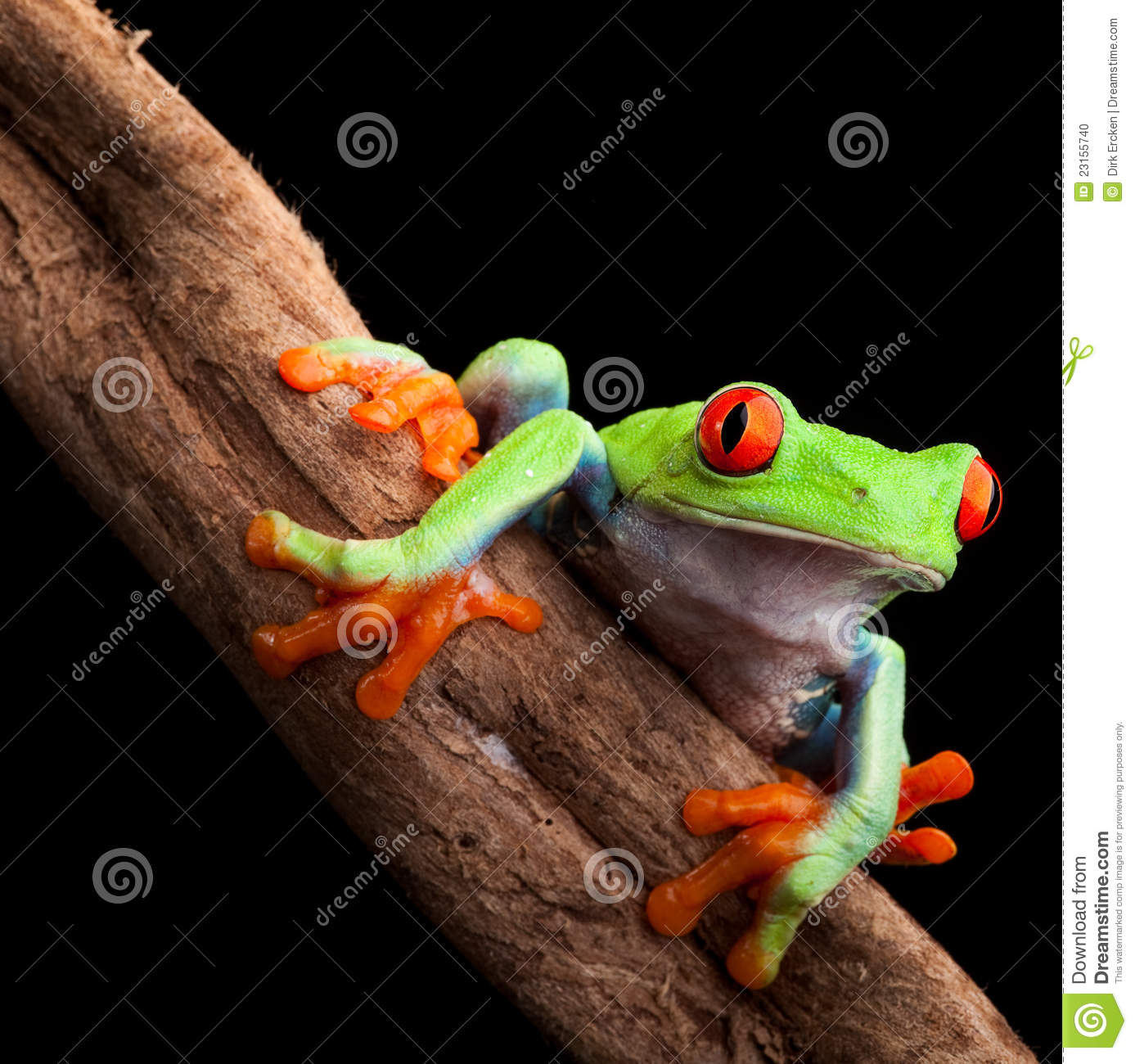 Red eyed tree frog at night in tropical rainforest treefrog agalychnis