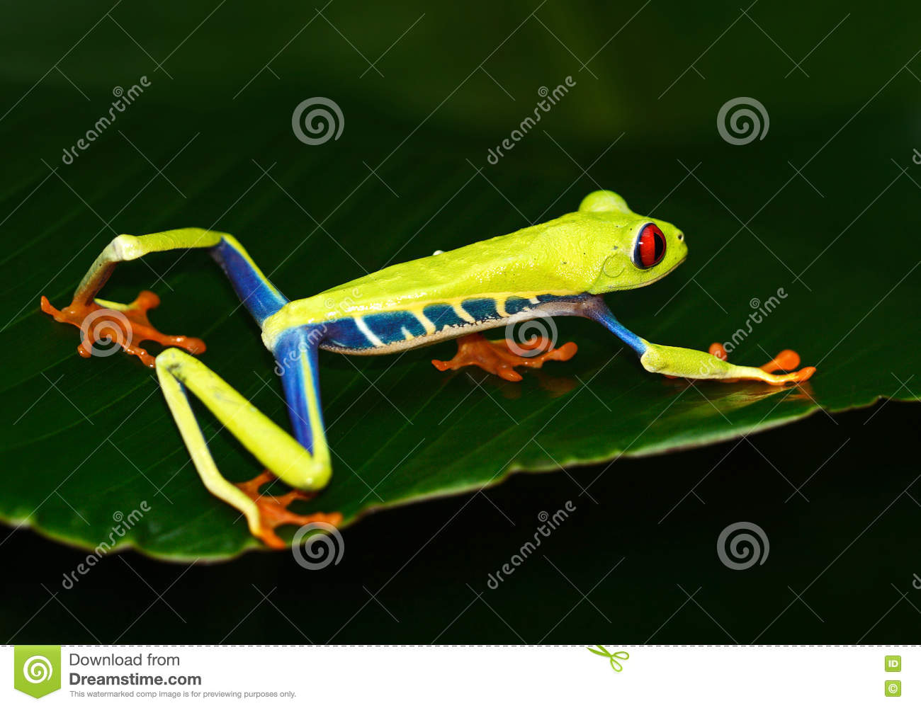 Red-eyed Tree Frog, Agalychnis callidryas, animal with big red eyes, in the nature habitat, Costa Rica. Beautiful exotic animal fr