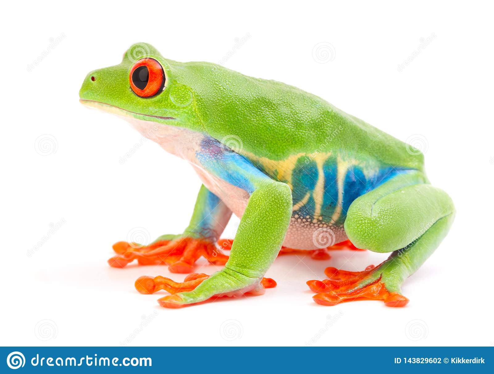 Red eyed tree frog, Agalychnis callydrias from the tropical rain forest
