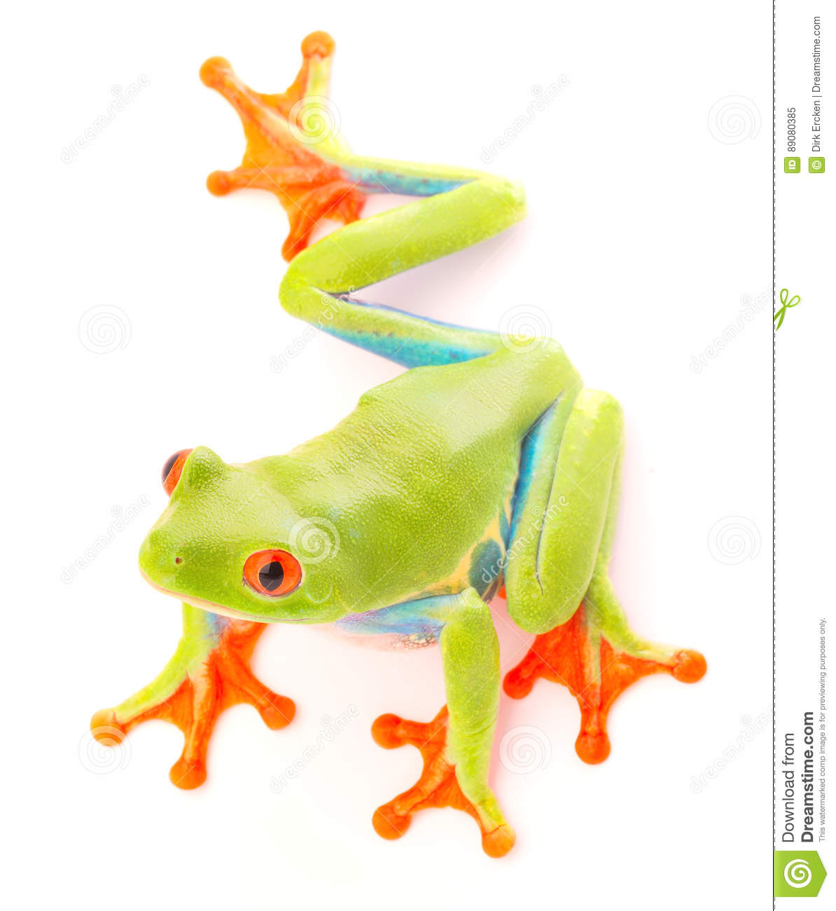 Red eyed tree frog an animal with vibrant eyes