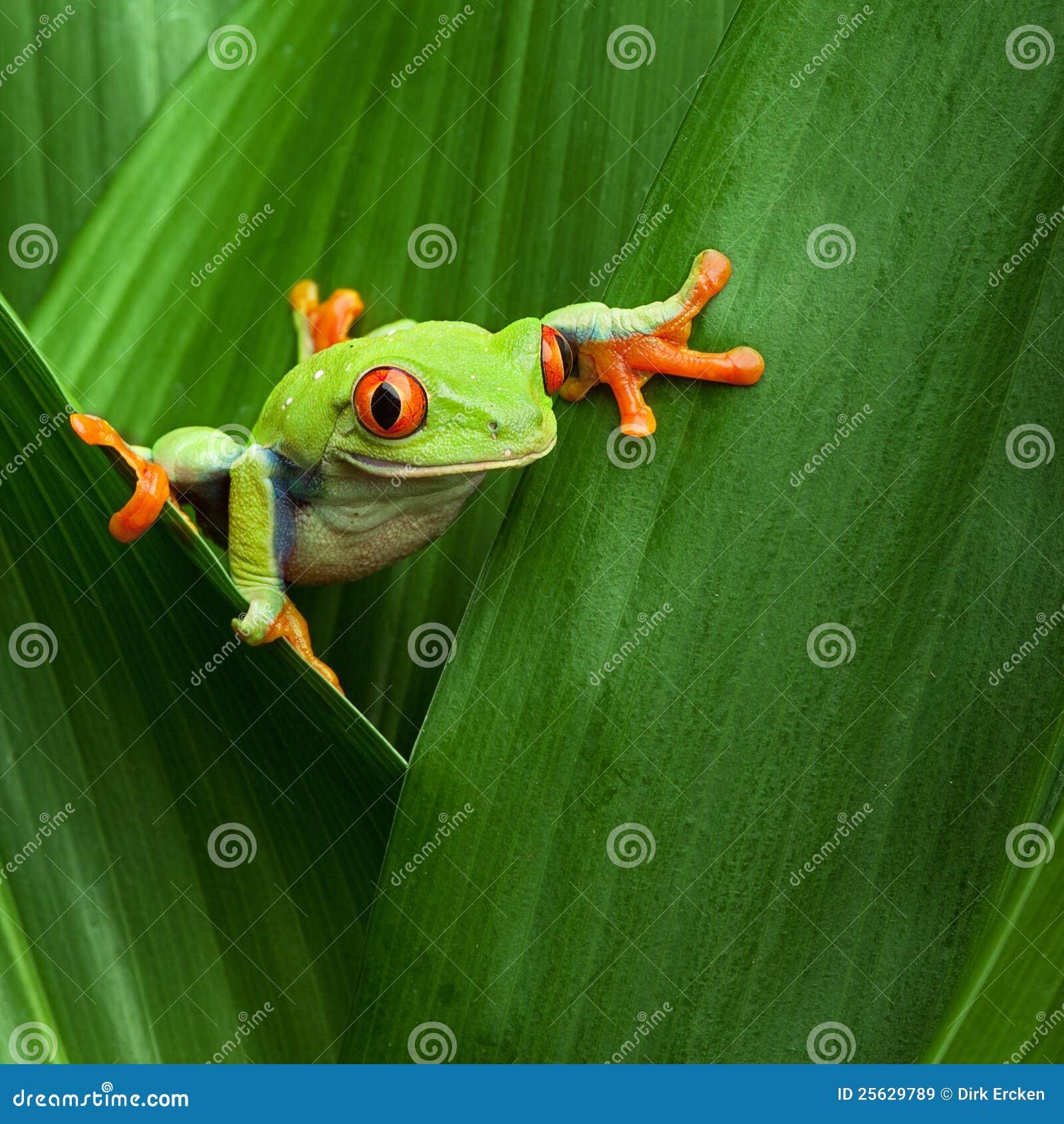 Red eyed tree frog big eye curiosity royalty free stock images image