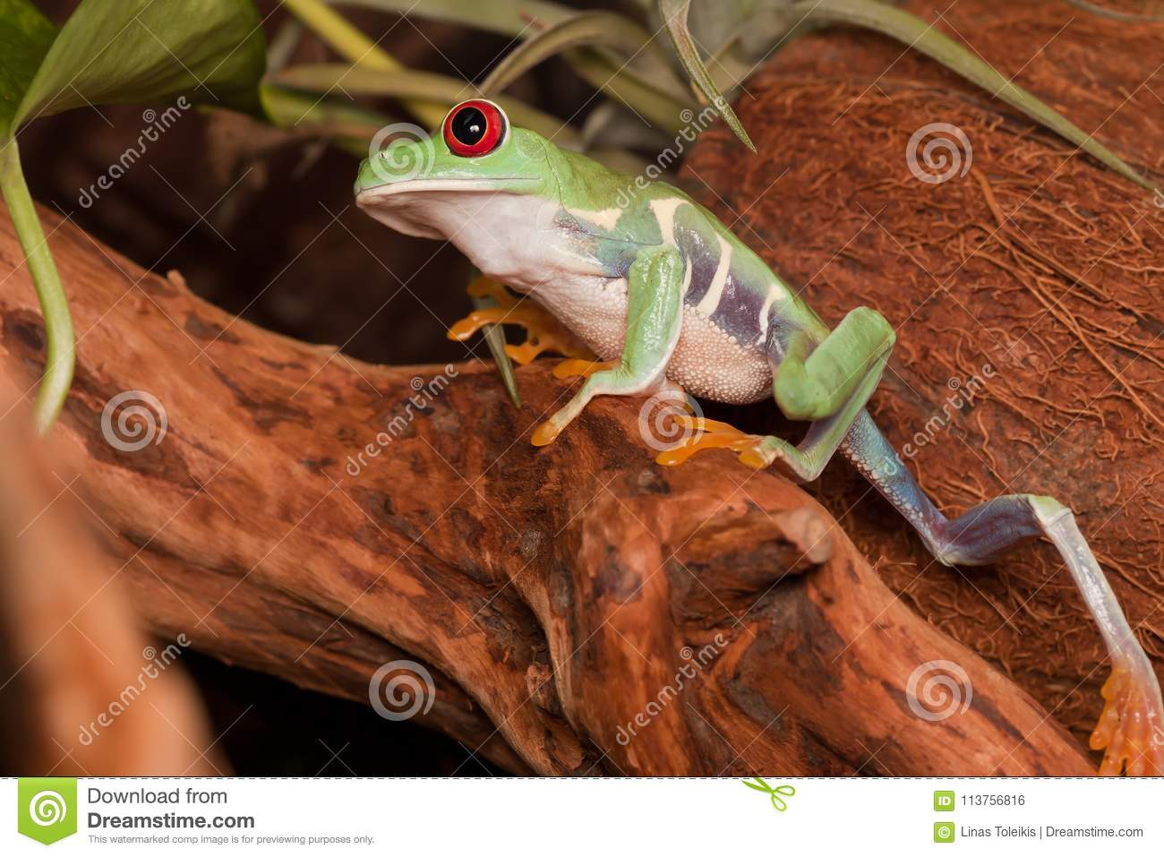 Red eyed tree frog climbs up