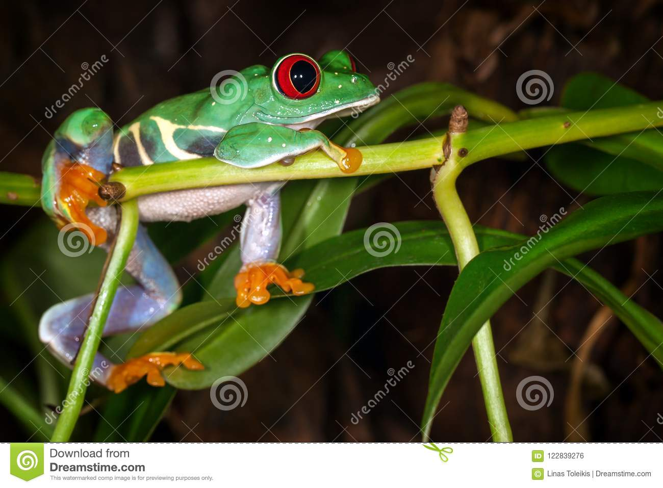 The red eyed tree frog dreaming about cricket
