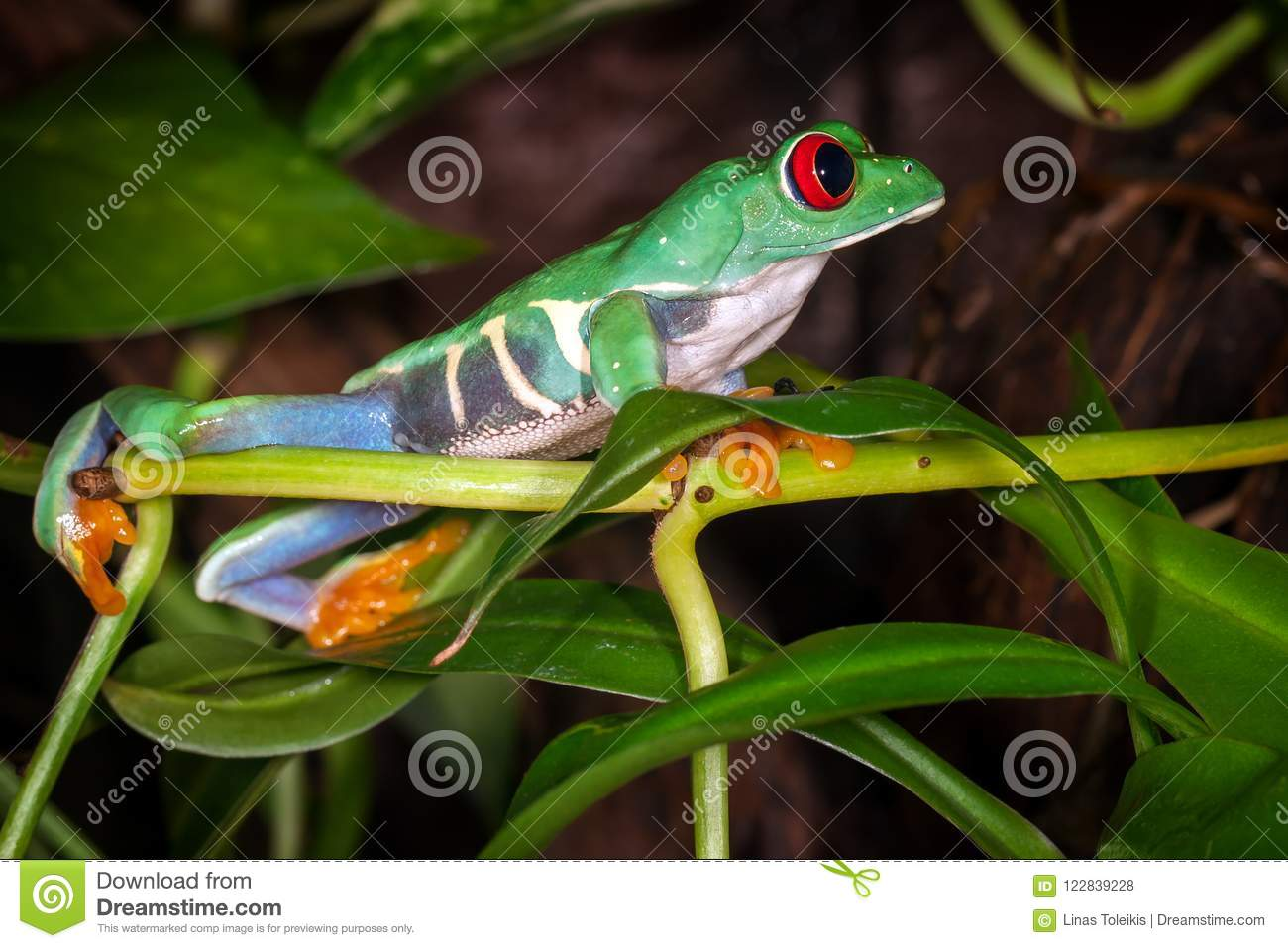 The red eyed tree frog looking