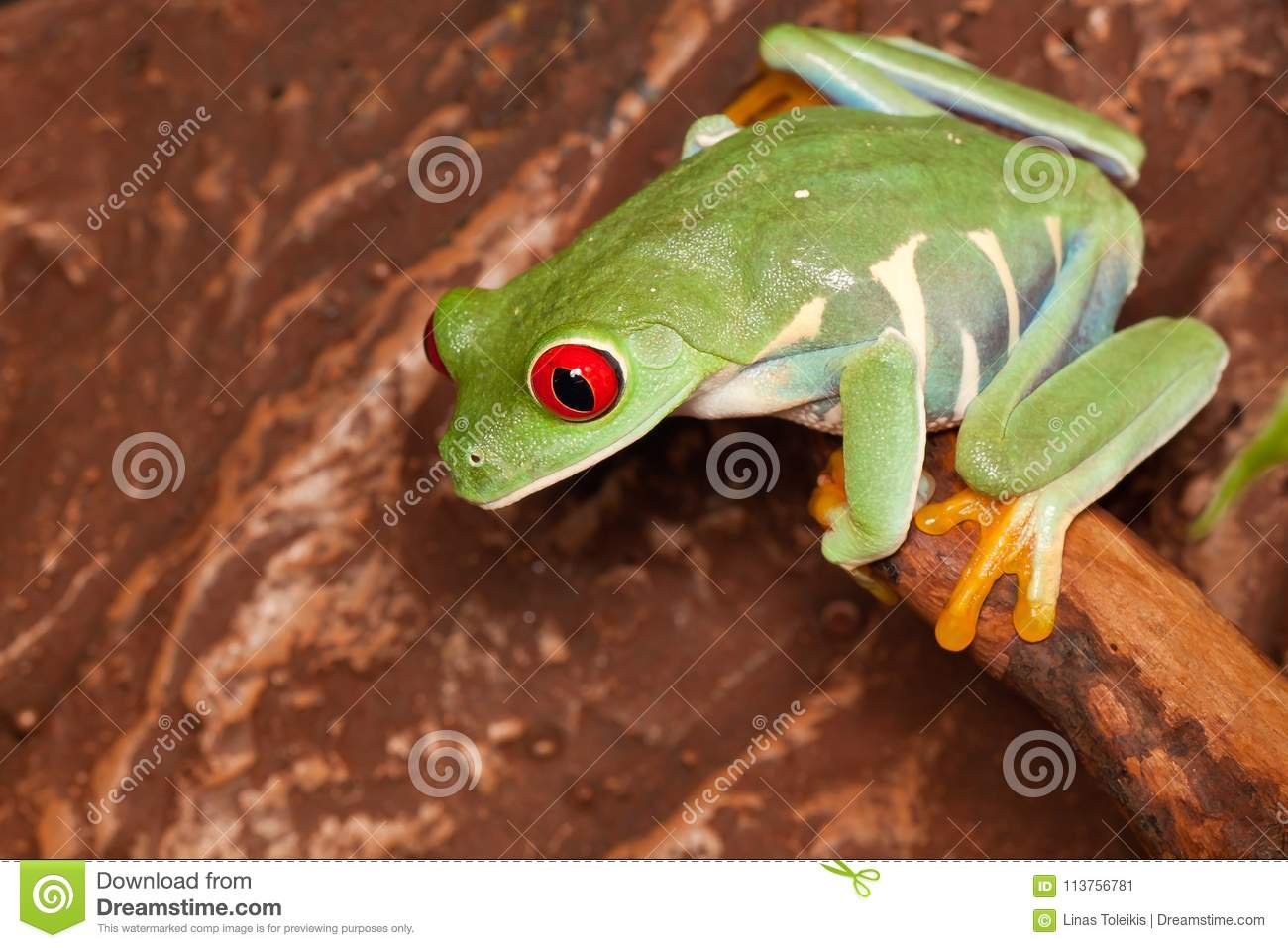 Red Eyed Tree Frog In The Terrarium Stock Image Image Of Frogs Looking 113756781