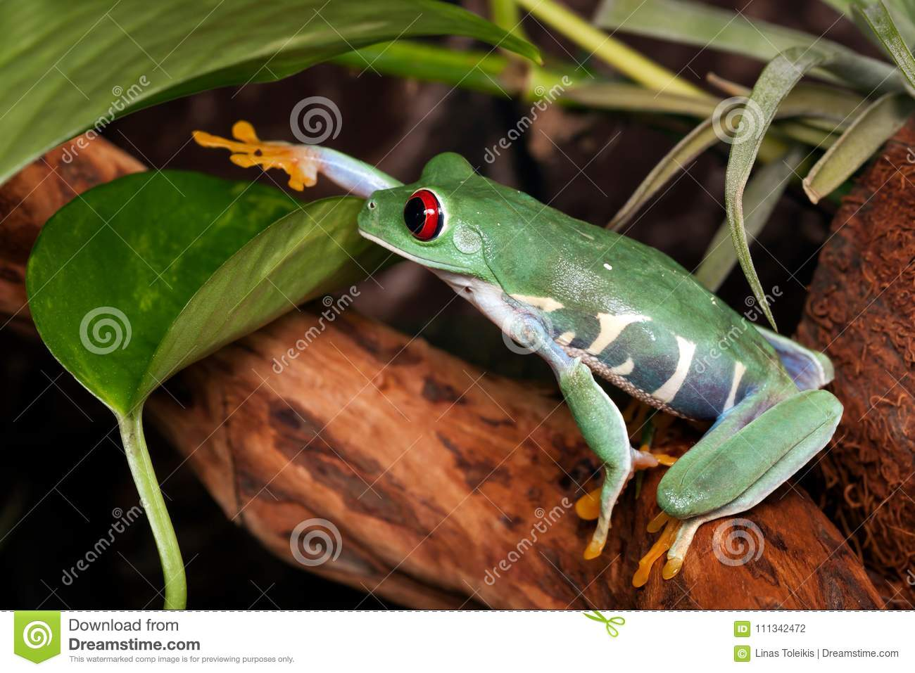 Red Eyed Tree Frog Touches Leaf Stock Photo Image Of Green Frogs 111342472