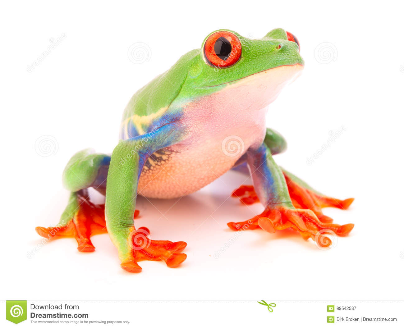 Red eyed tree frog a tropical animal