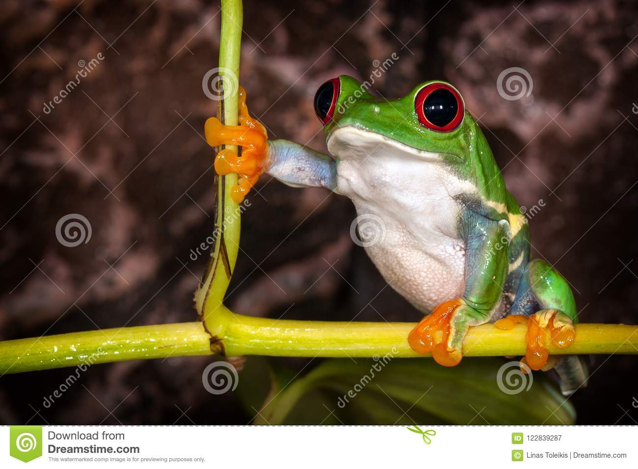 Red Eyed Tree Frog In Very Important Pose Sitting In The Terrarium Stock Image Image Of Funny Costa 122839287