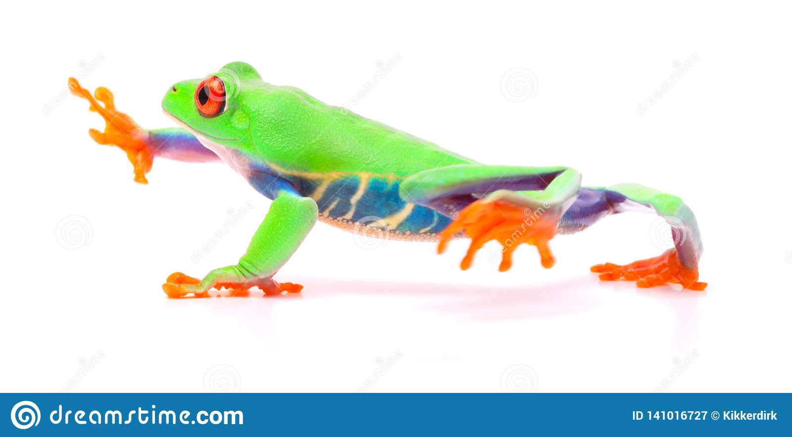 Red eyed tree frog walking, Agalychnis callydrias