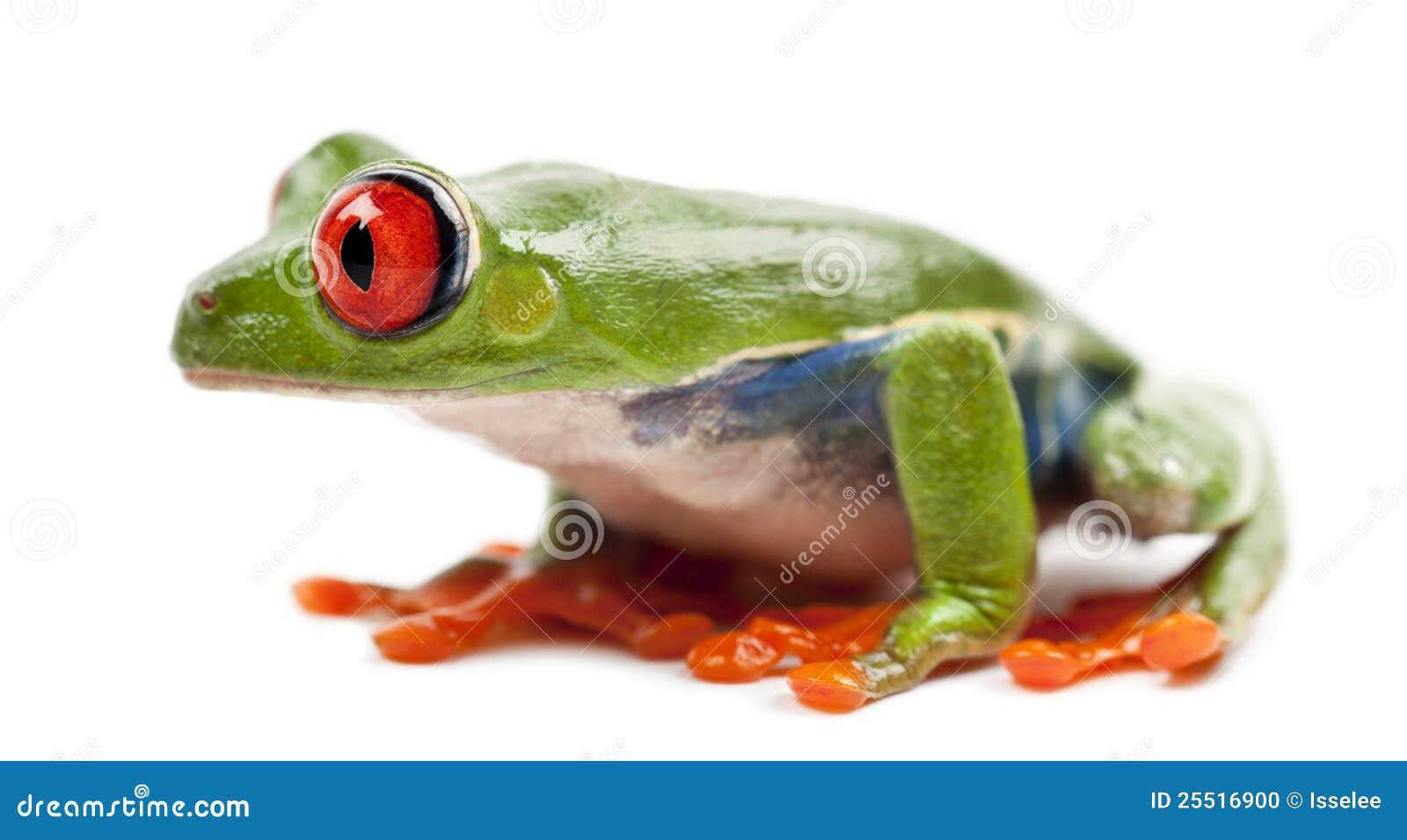 Red-eyed Treefrog, Agalychnis callidryas