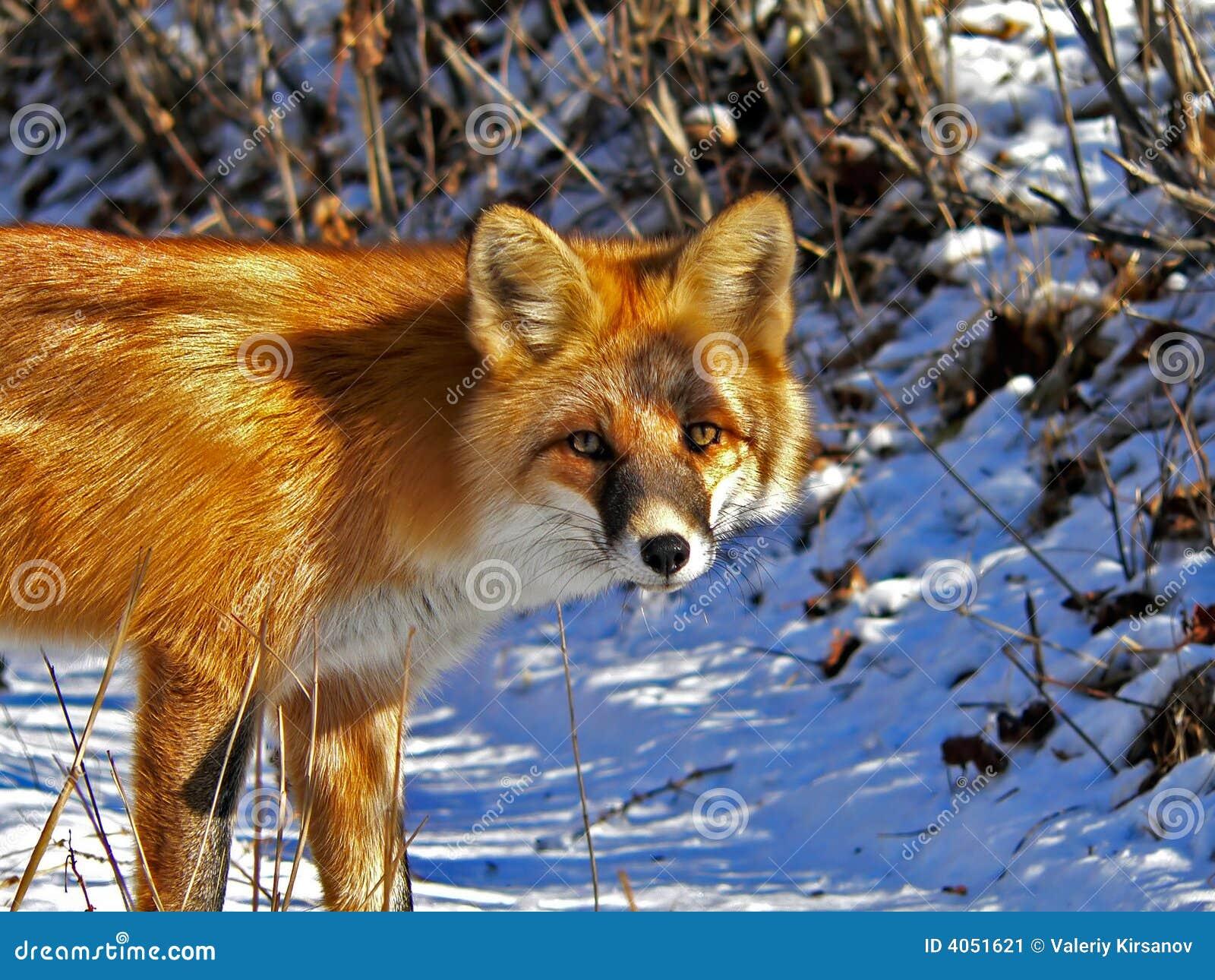 Red för 5 räv