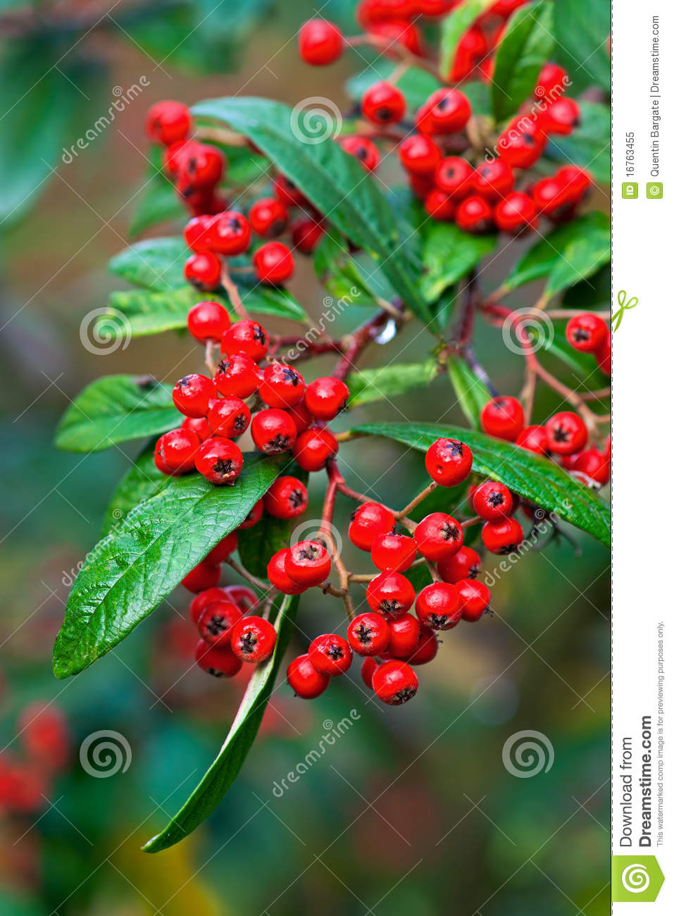 Red Fall berries stock image. Image of nature, shrub - 16763455
