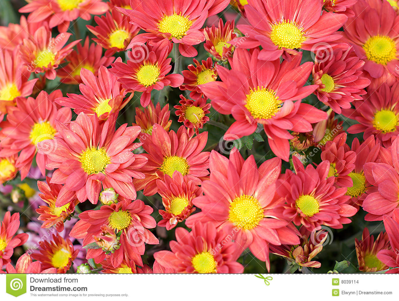 Red Fire Chrysanthemum