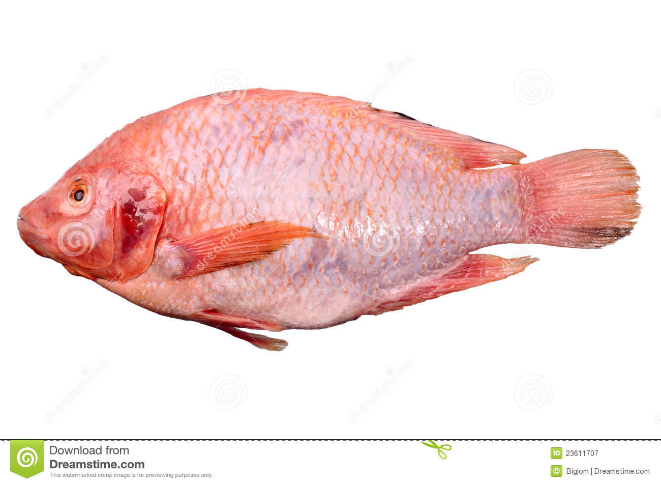 Nile Tilapia, Mango fish, Nilotica , thai peple call pla tubtim (Red ...