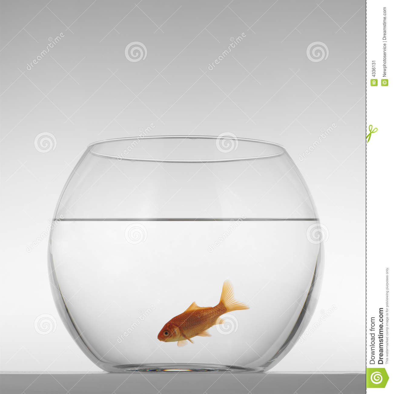 Red fish in an aquarium on a white background