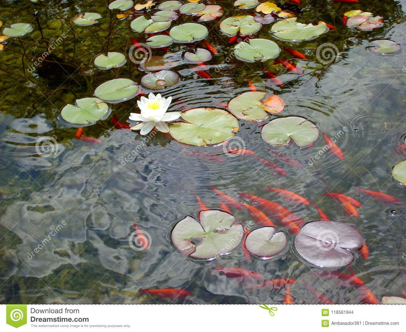 Red Fish And Beautiful Water Lily Or Lotus Flower On The Water In