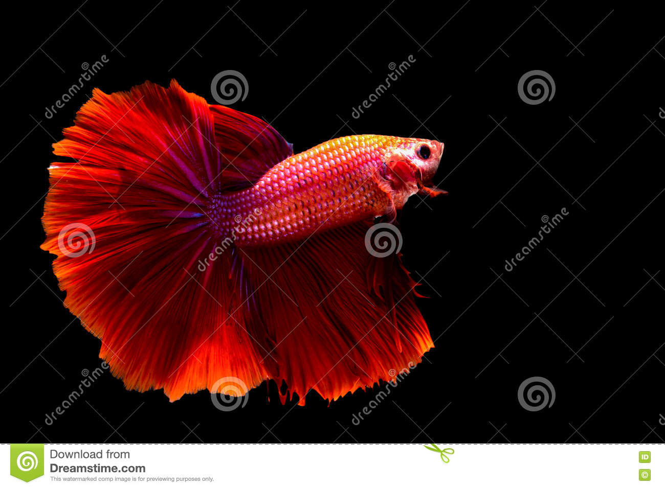 Red fish siamese fighting fish