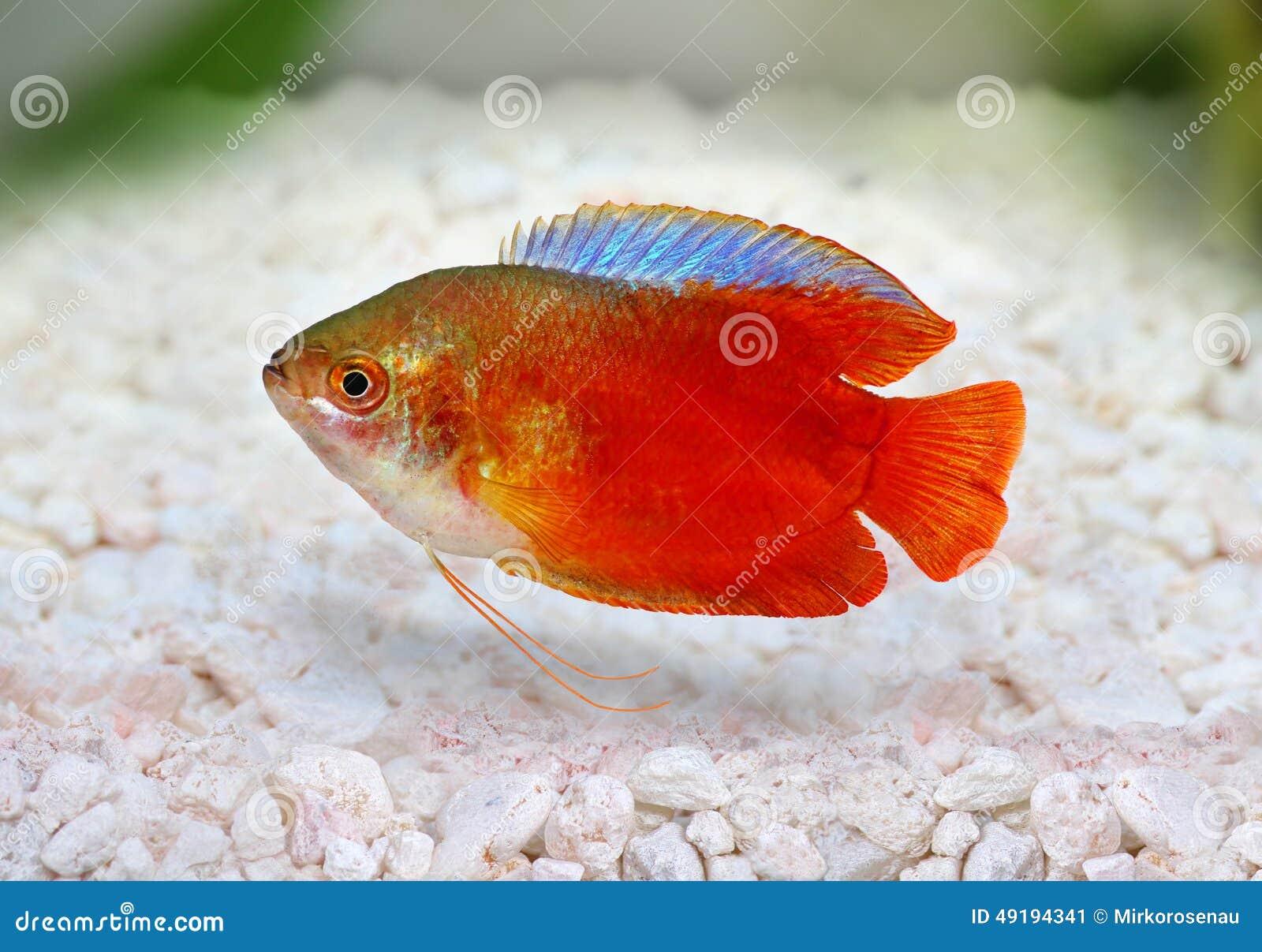 Red Flame Gourami Trichogaster Lalius Freshwater Aquarium