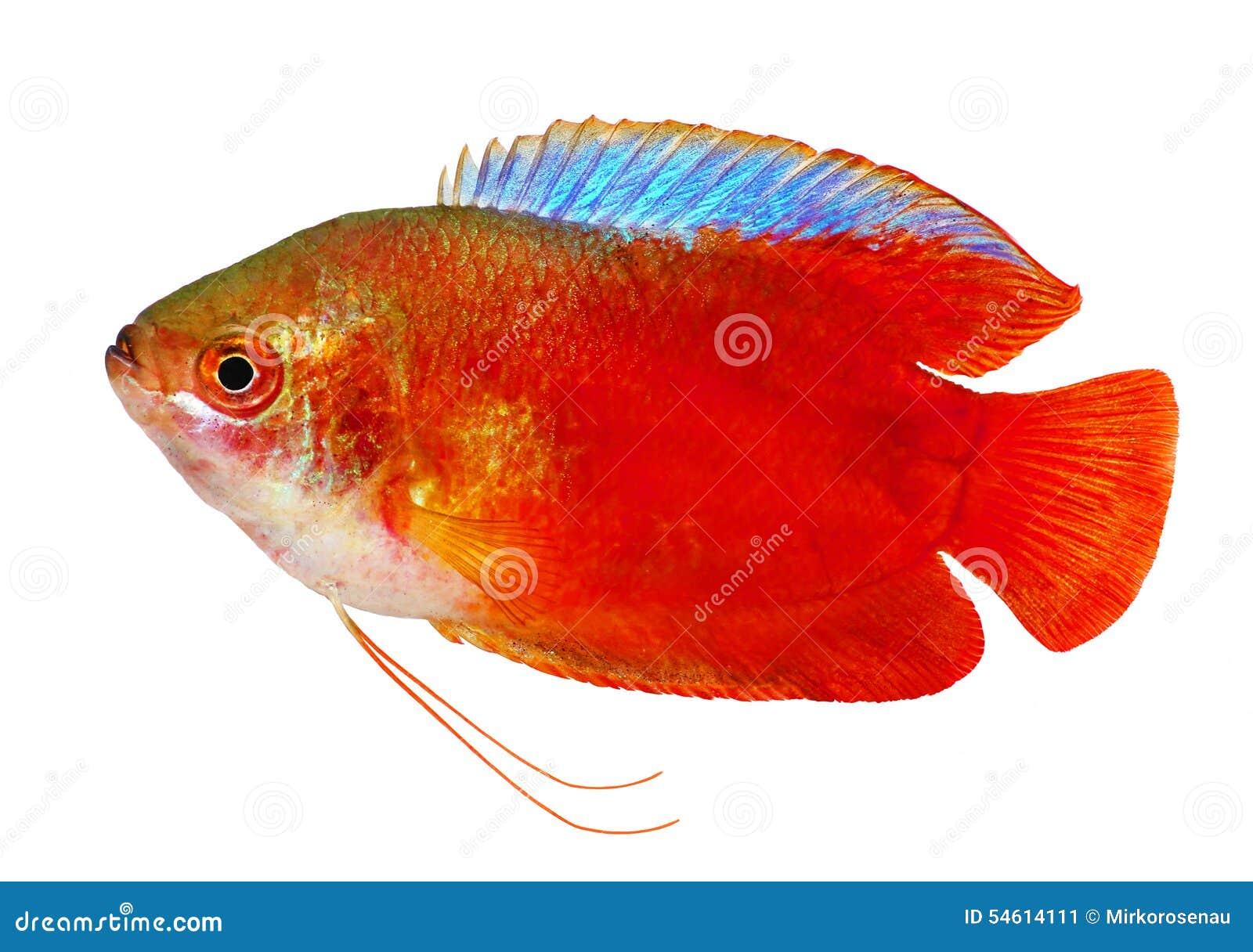 Red Flame Gourami Trichogaster Lalius Freshwater Aquarium Fish ...