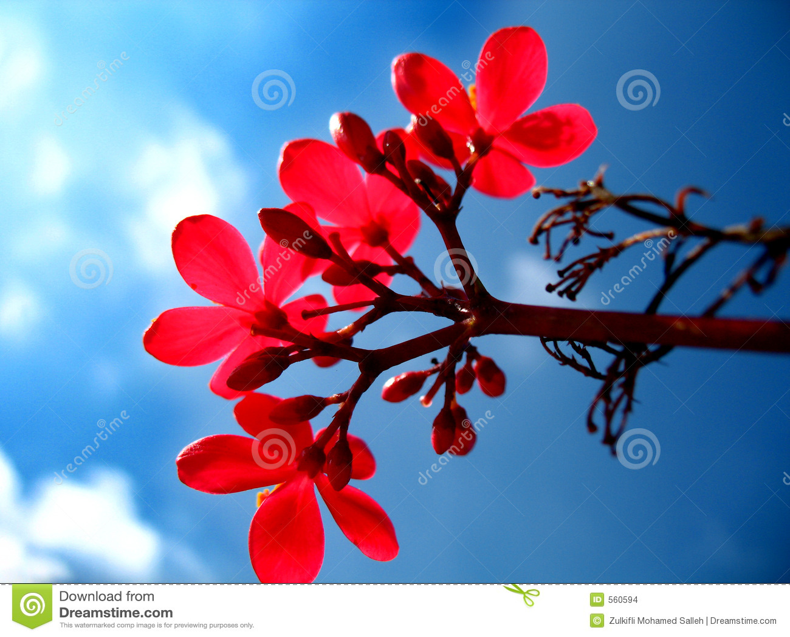 2d4f7d4b6e8b Red flower stock photo. Image of flower, summer, forest - 560594