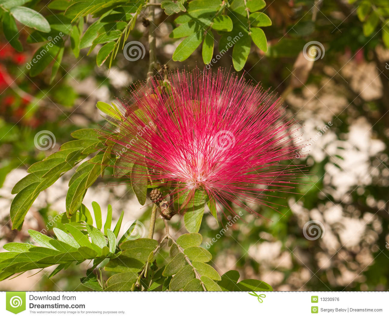 Red Flower Acacia Stock Photo Image Of Wattle Travel 13230976
