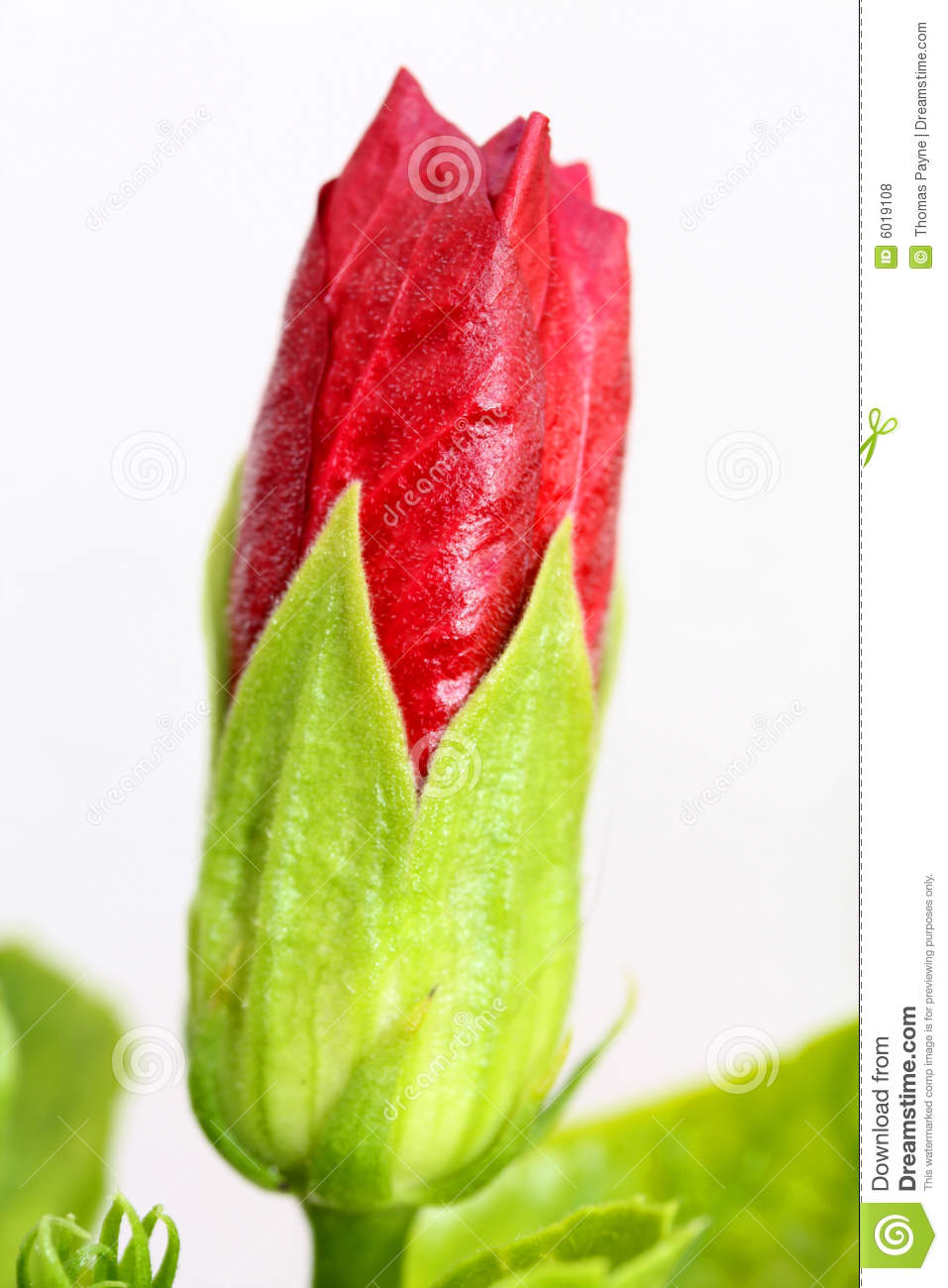 Red Flower Bud Stock Photo Image Of Isolated Flower 6019108