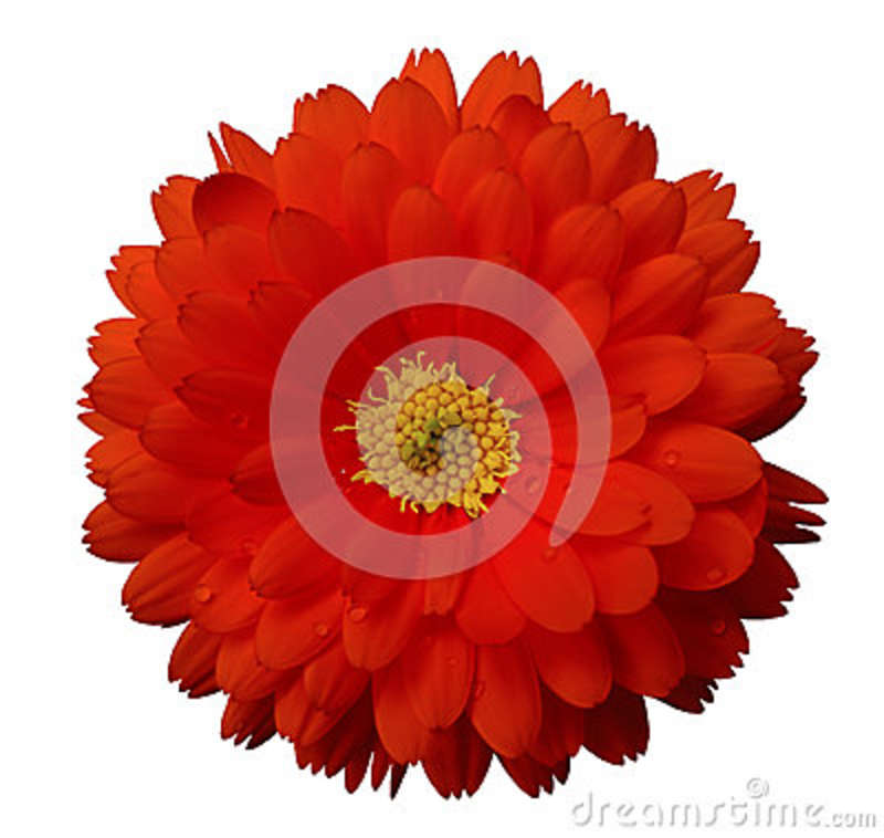 Red flower calendula white isolated background with clipping path download red flower calendula white isolated background with clipping path stock photo image of mightylinksfo