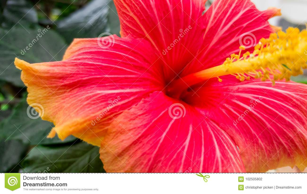 Red Flower Close Up Stock Photo Image Of Petals Yellow 102505802