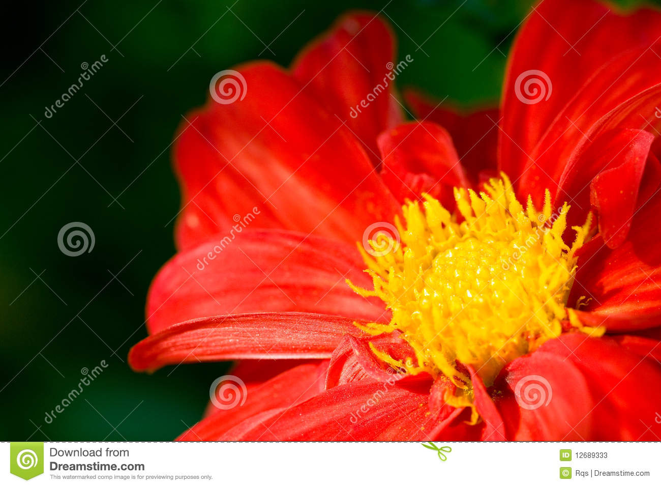 Red Flower Dahlia Yellow Center Stock Images Download 210 Royalty