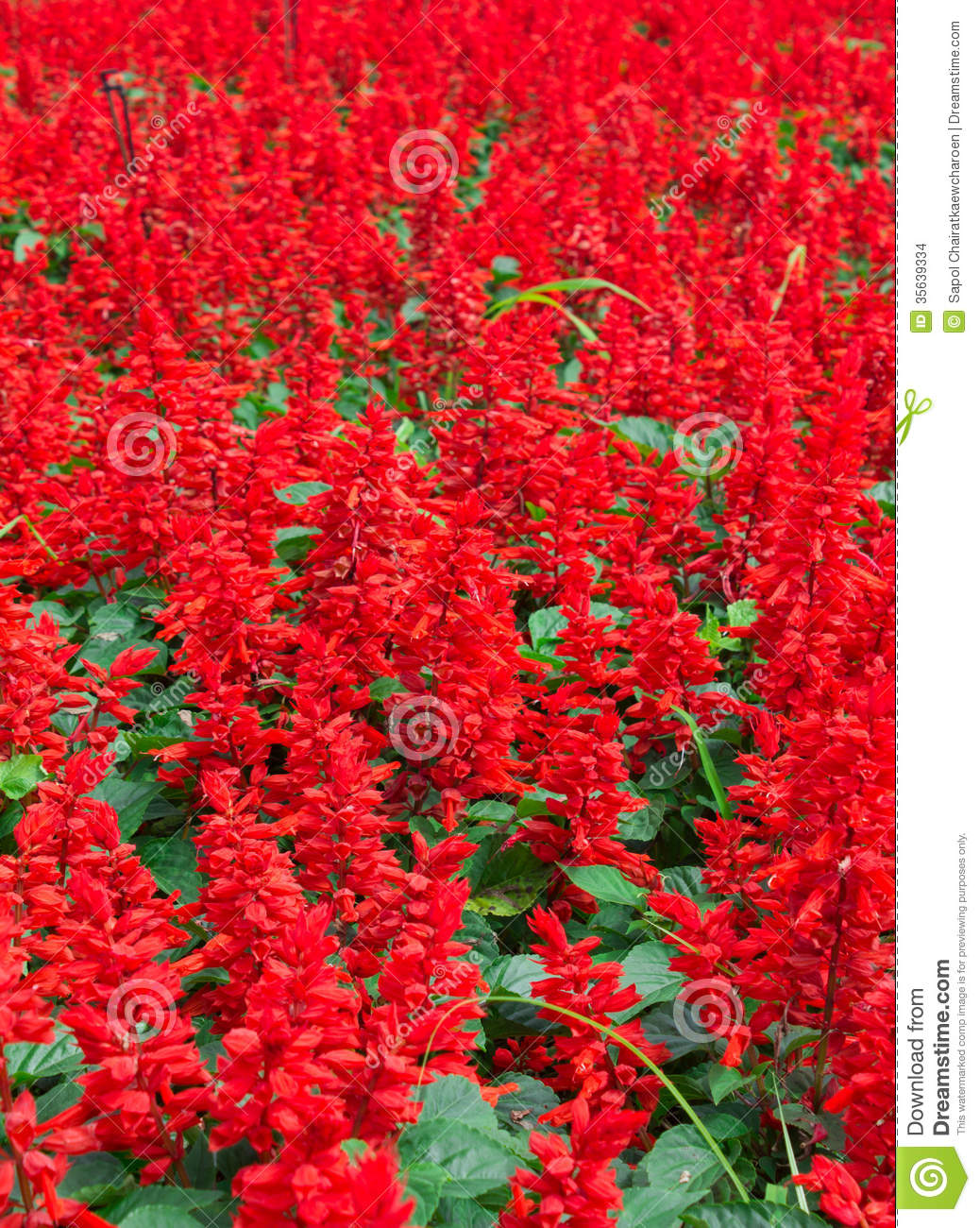 Red flower field stock photo. Image of natural, leaf - 35639334