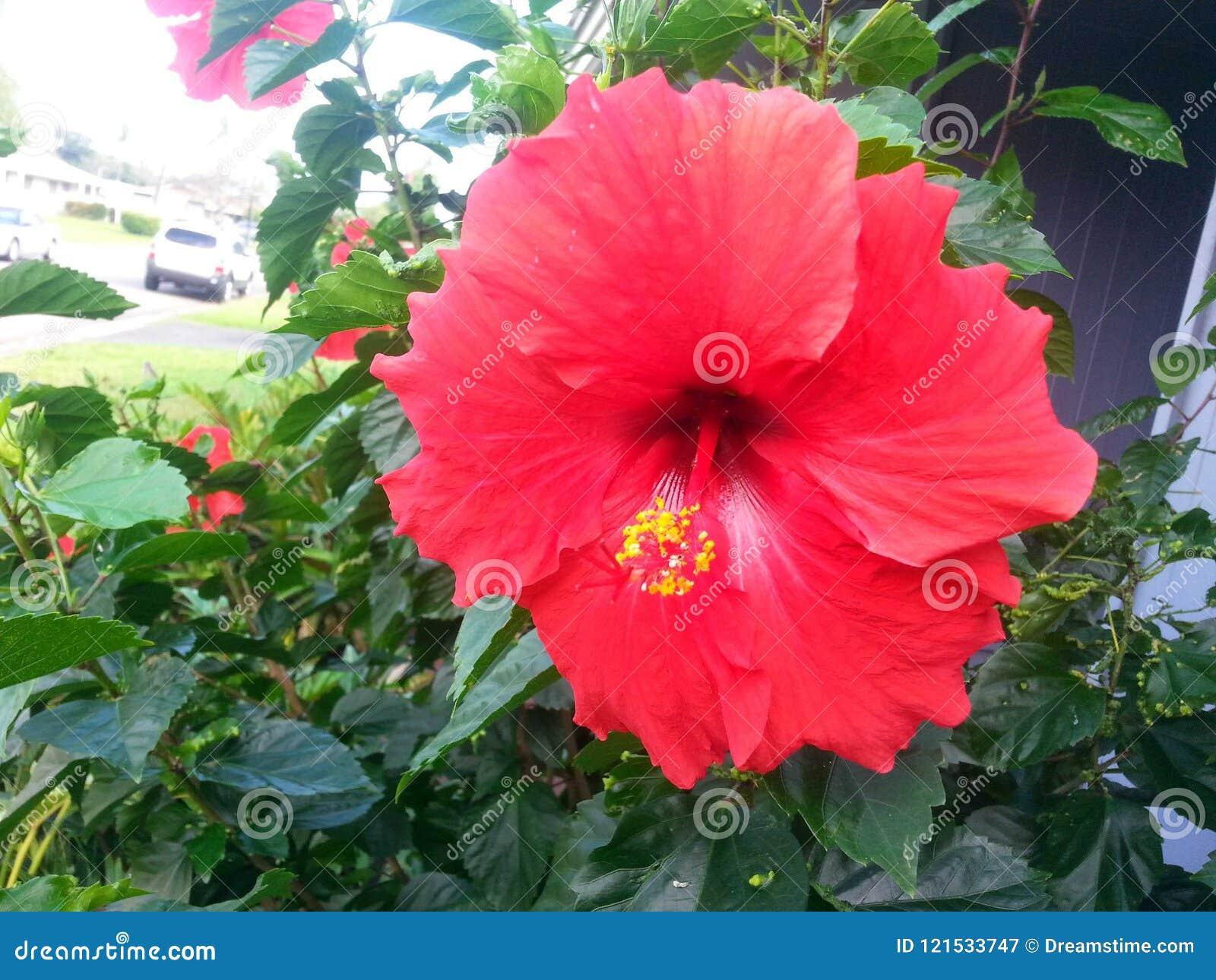 Hawaiian Hybiscus Stock Image Image Of Flower Hawaiian 121533747