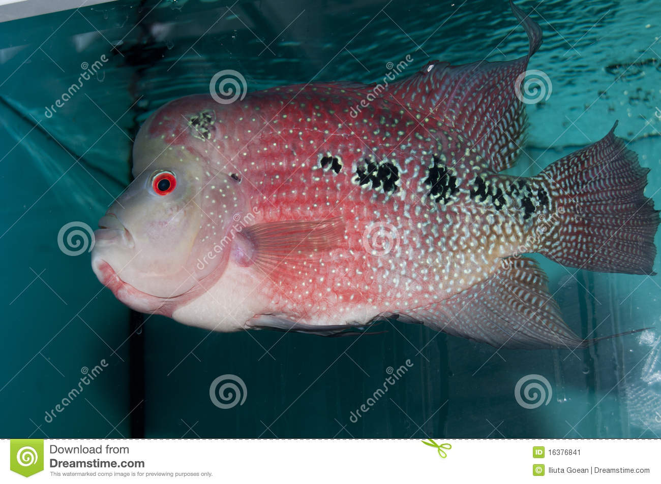 Red Flower Horn Fish Stock Image Image