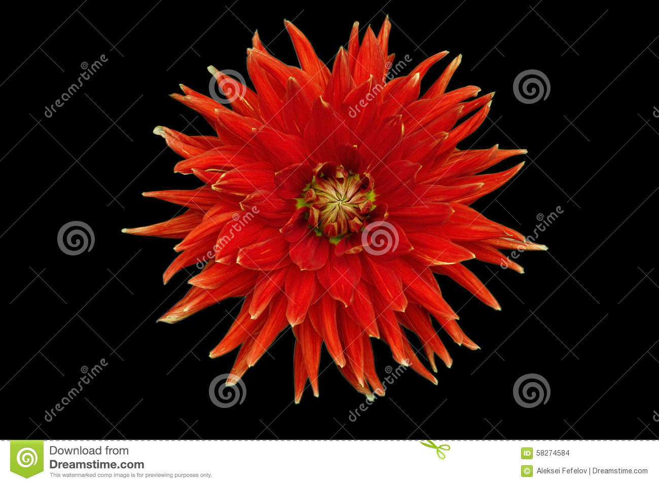 Red Flower Isolated On A Black Background Dahlia Stock