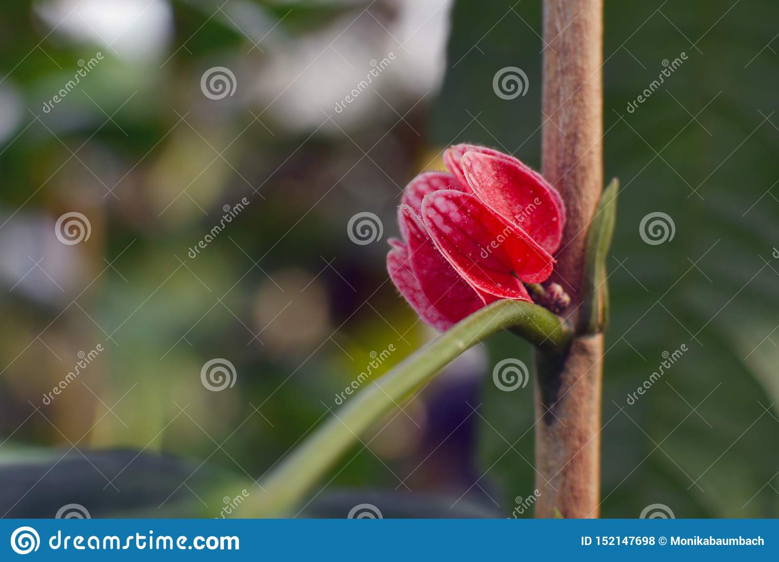 Red flower of a `Malvacea Goethea Strictiflora Hook` Mallow plant in full boom