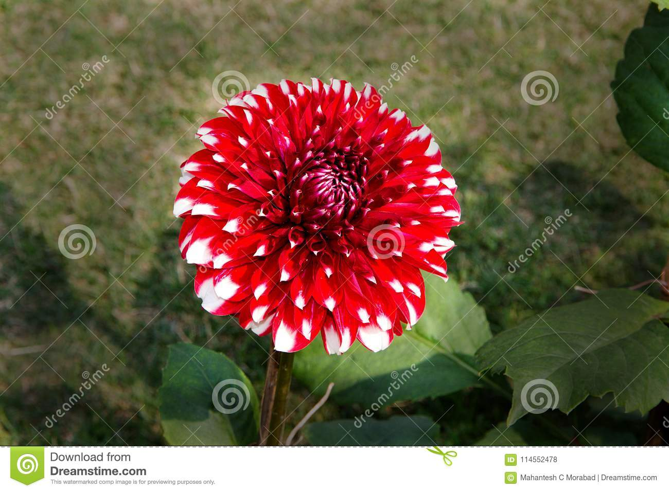 Red flower petals with white tips stock photo image of flower download red flower petals with white tips stock photo image of flower flora mightylinksfo