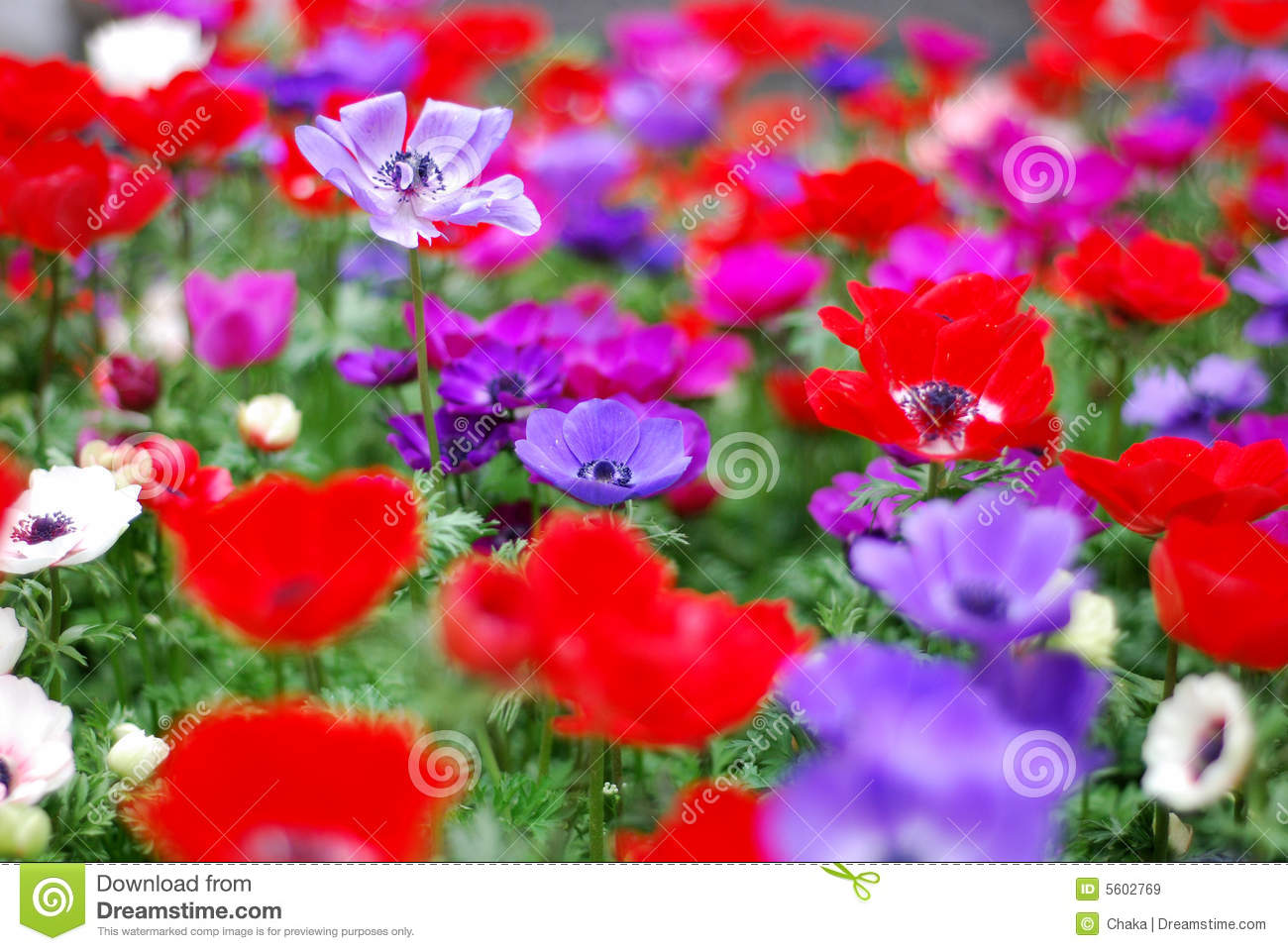 Red Flower And Purple Flower Stock Image - Image of vivid, lucky ...