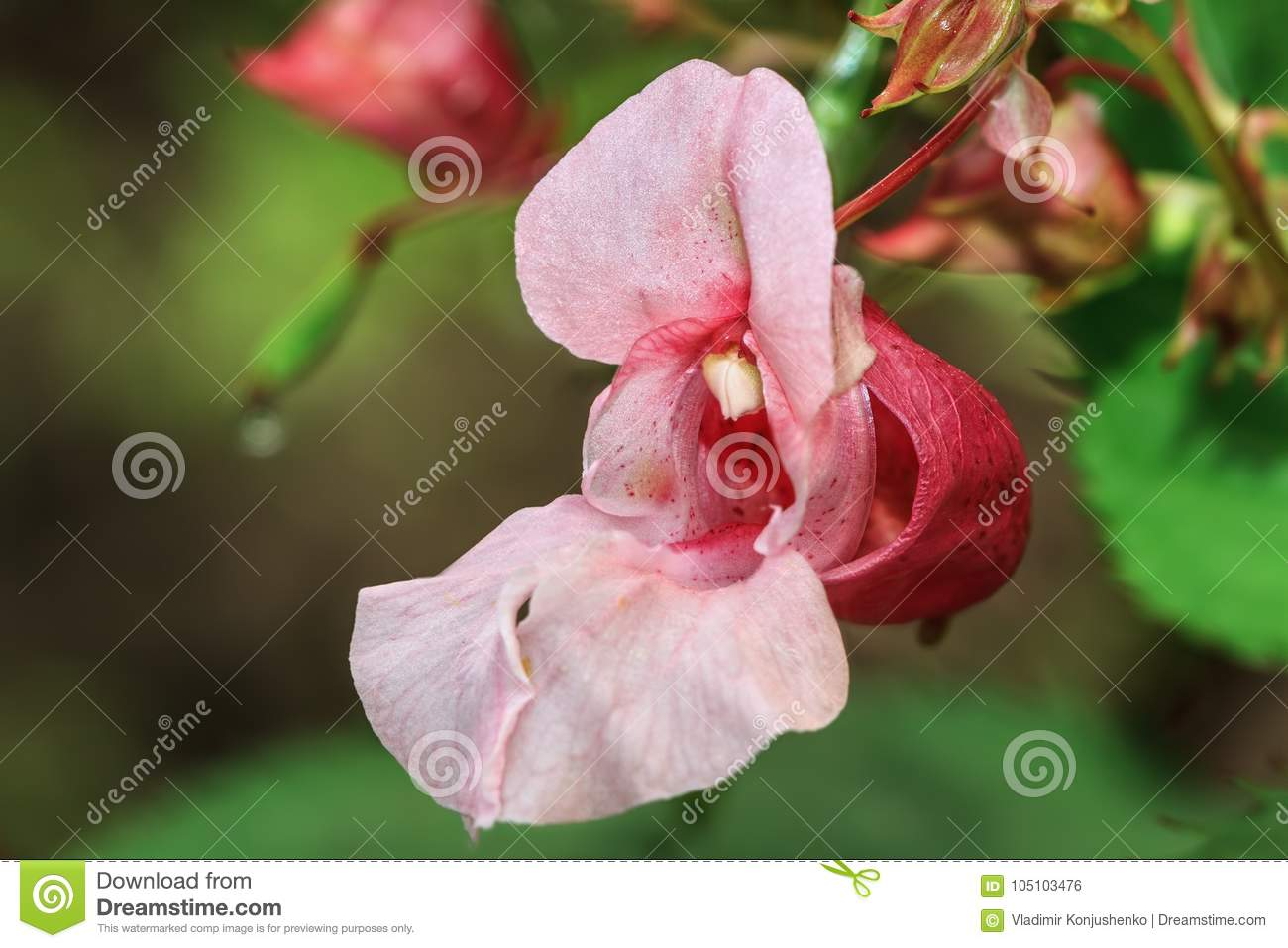 Snapdragon stock photo. Image of plant, gardening, background ...