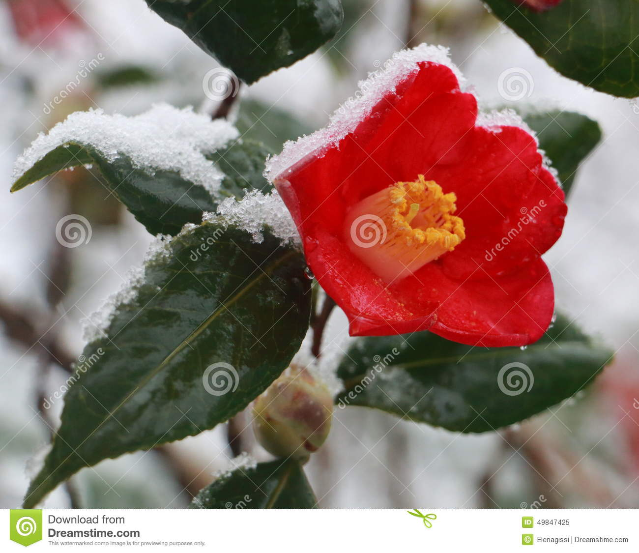 Red flower in the snow camellia japonica stock image - Camelia fotos ...