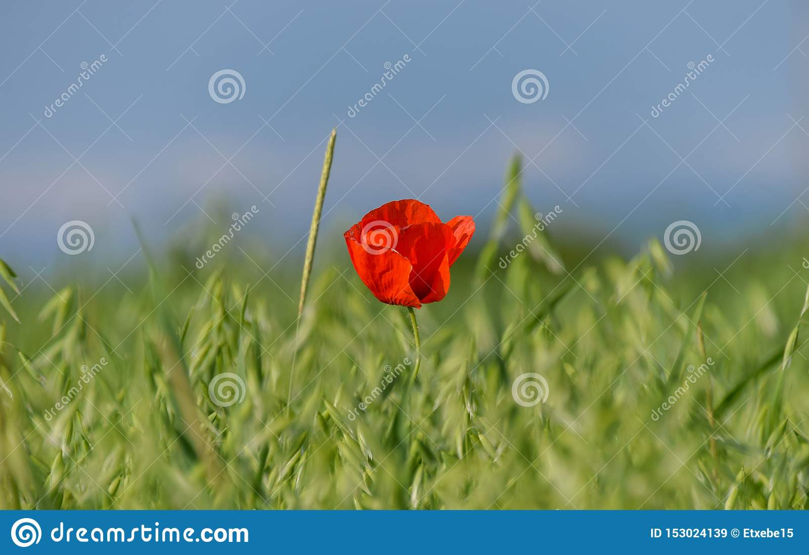 Red flower on a wheat green field