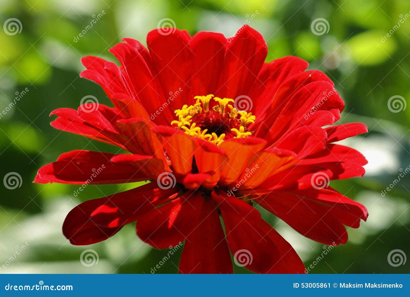 Red flower stock image image of macro petal gerbera 53005861 red flower mightylinksfo