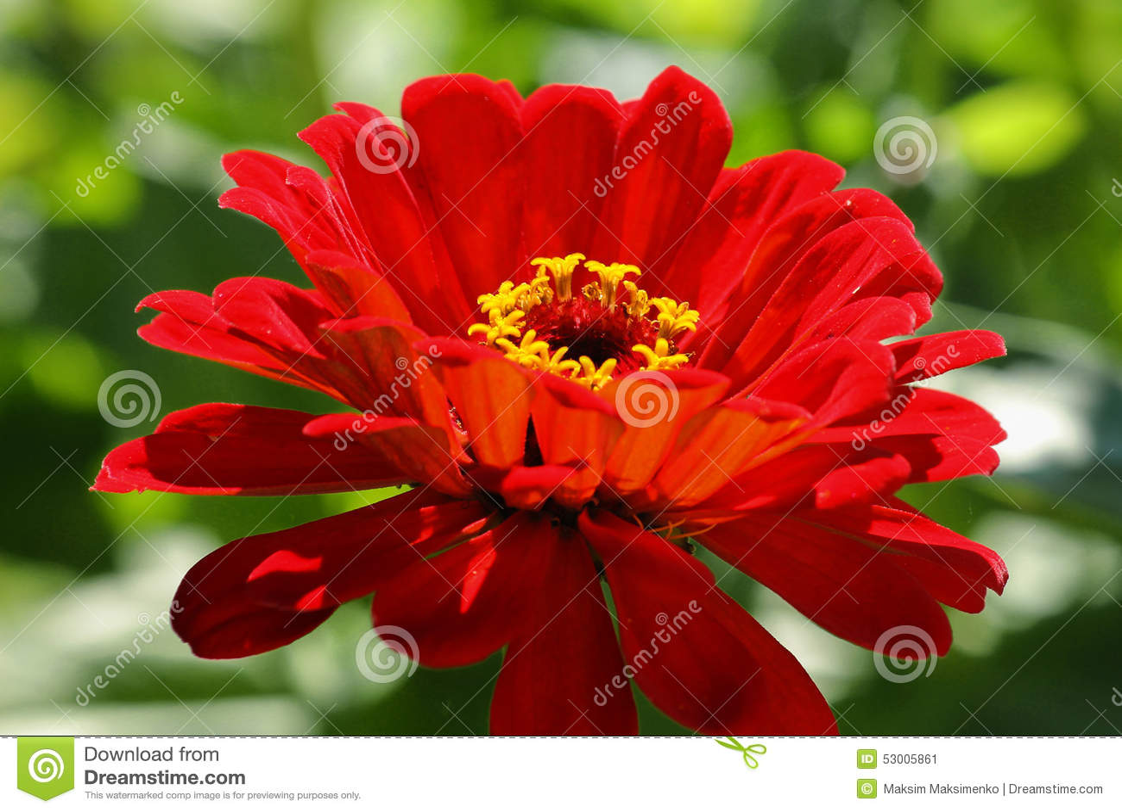 Red flower stock image image of macro petal gerbera 53005861 download comp mightylinksfo