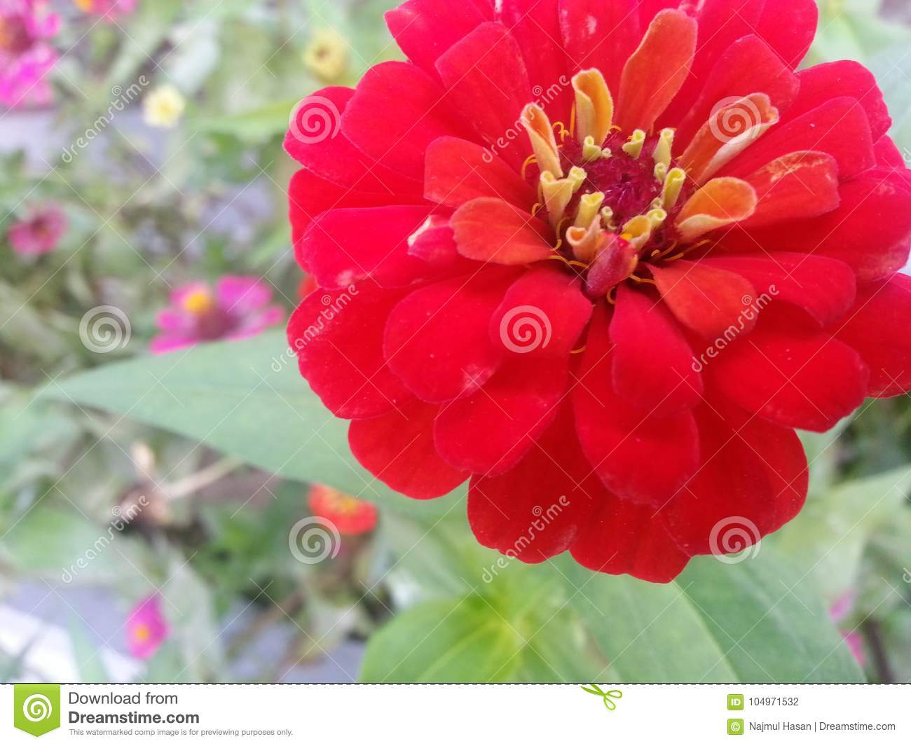 Red Flower With Yellow Stamens And Green Leaves Stock Photo Image