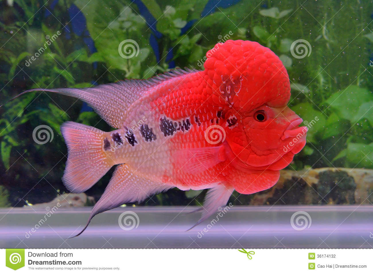 A red flowerhorn cichlid stock photo. Image of cichlid - 36174132