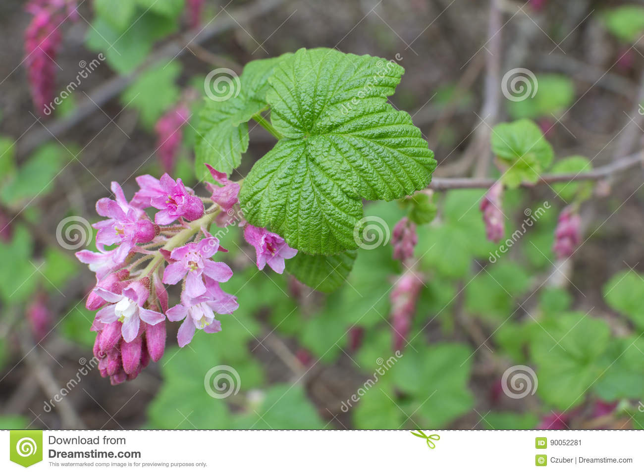Red flowering currant bush stock image image of pink 90052281 red flowering currant bush mightylinksfo