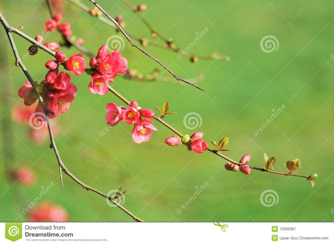 red flowering quince branches royalty free stock photography - Quince Flower