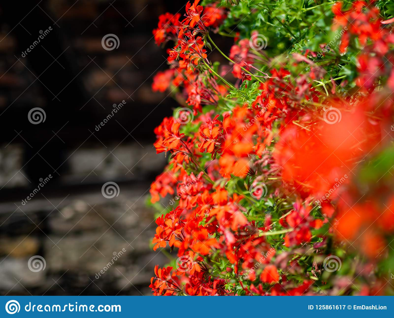 Red flowers along a wall with stylistic blur effect
