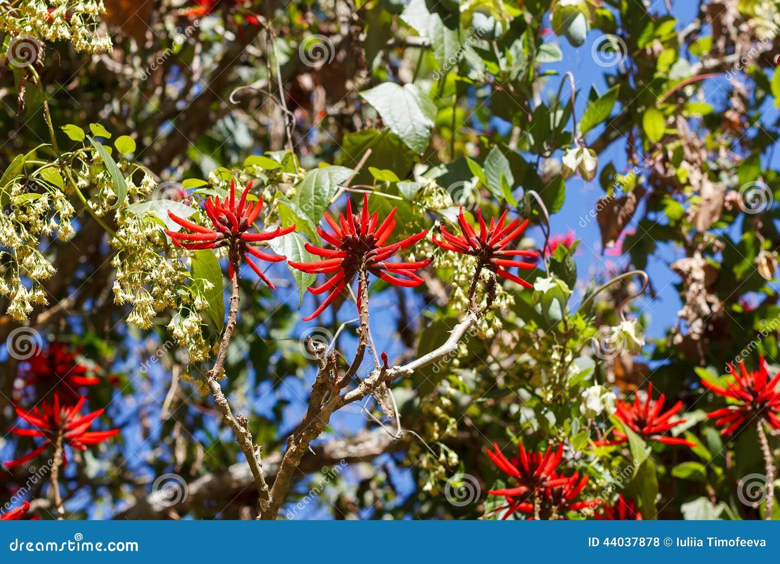 Red flowers of brazilian tree Erythrina speciosa (Coral tree, Fl