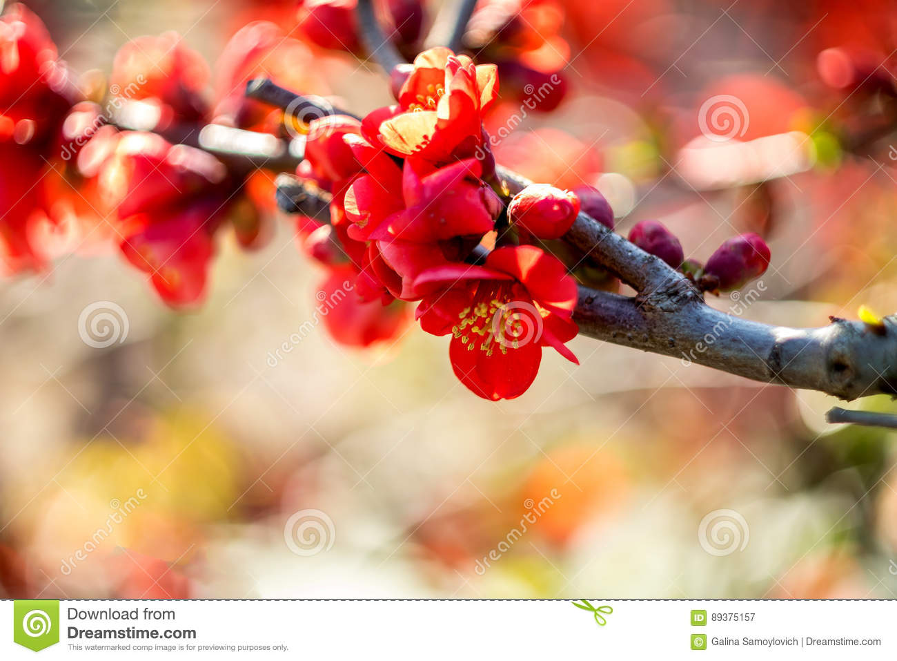 red flowers chaenomeles japonica japanese quince flower - Quince Flower