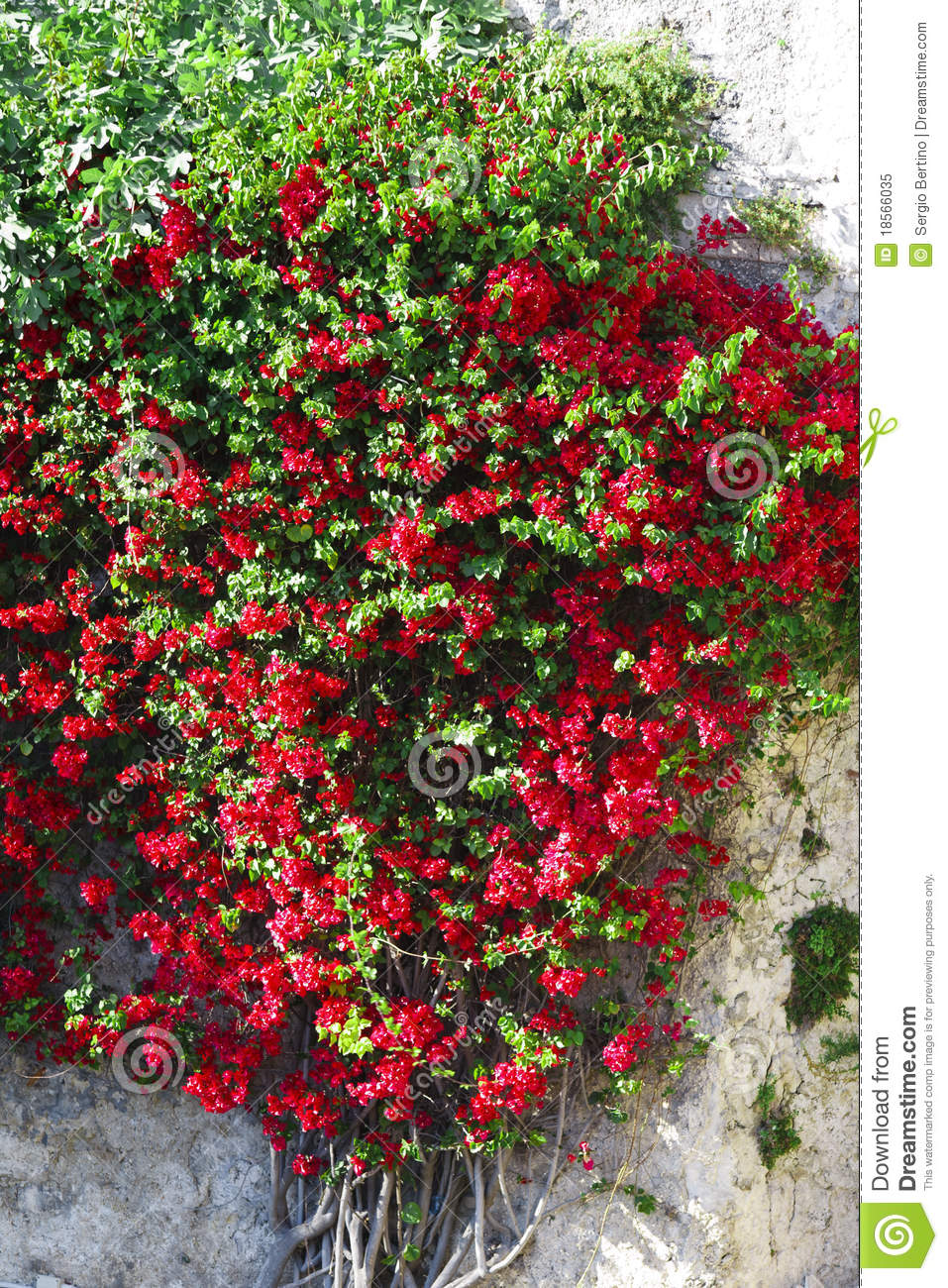 More similar stock images of red flowers on climbing plant